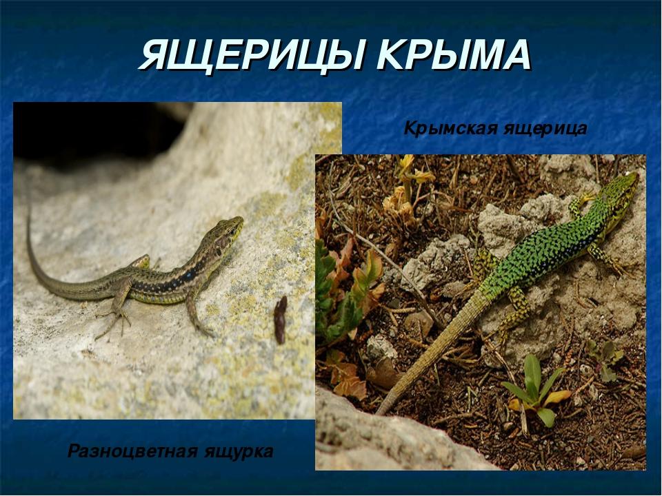 ЯЩЕРИЦЫ КРЫМА Разноцветная ящурка Крымская ящерица