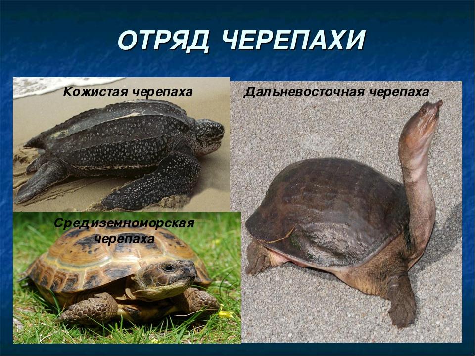 ОТРЯД ЧЕРЕПАХИ Кожистая черепаха Дальневосточная черепаха Средиземноморская ч...