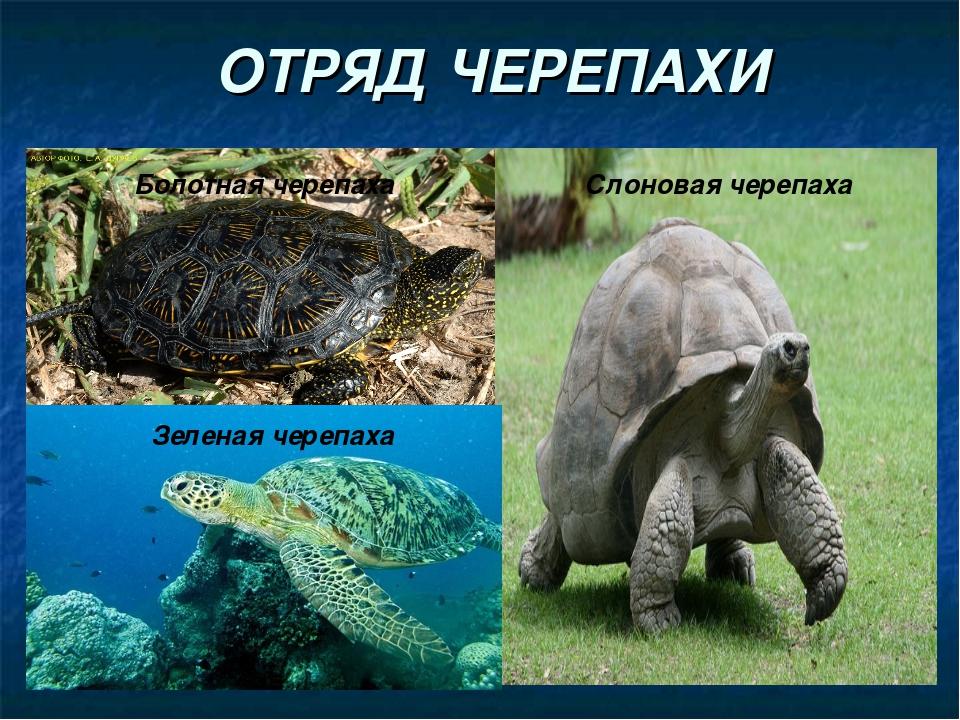 ОТРЯД ЧЕРЕПАХИ Слоновая черепаха Болотная черепаха Зеленая черепаха