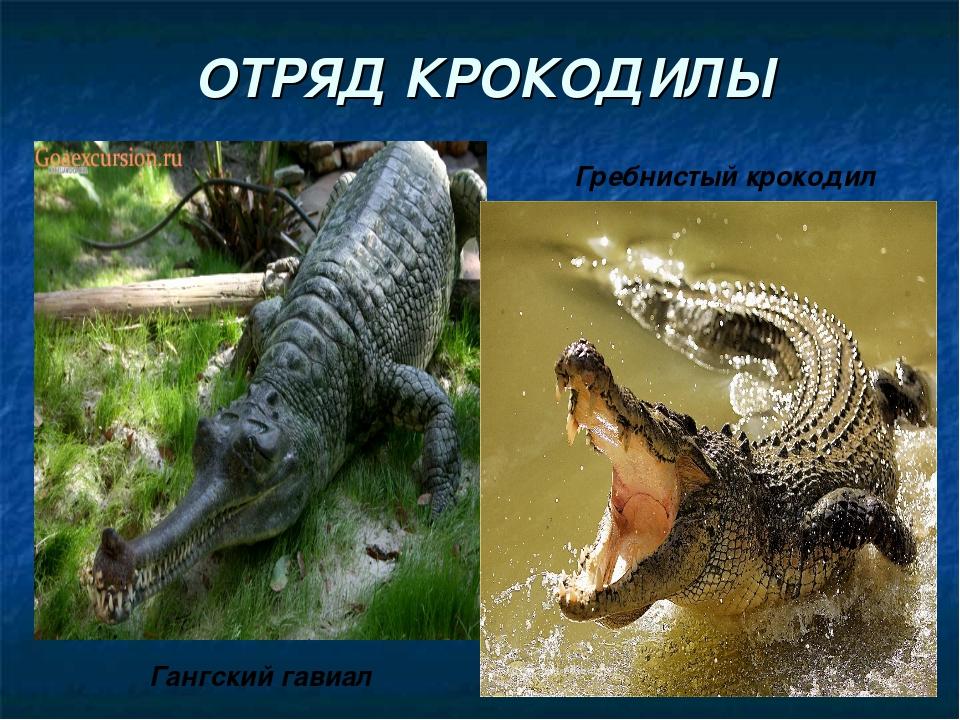 ОТРЯД КРОКОДИЛЫ Гангский гавиал Гребнистый крокодил