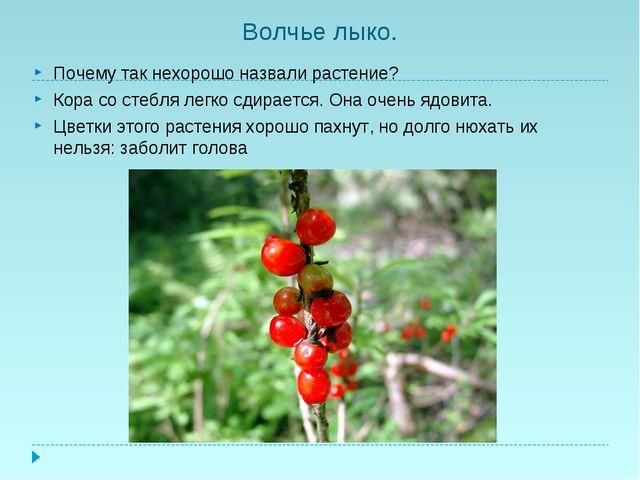Волчье лыко. Почему так нехорошо назвали растение? Кора со стебля легко сдира...