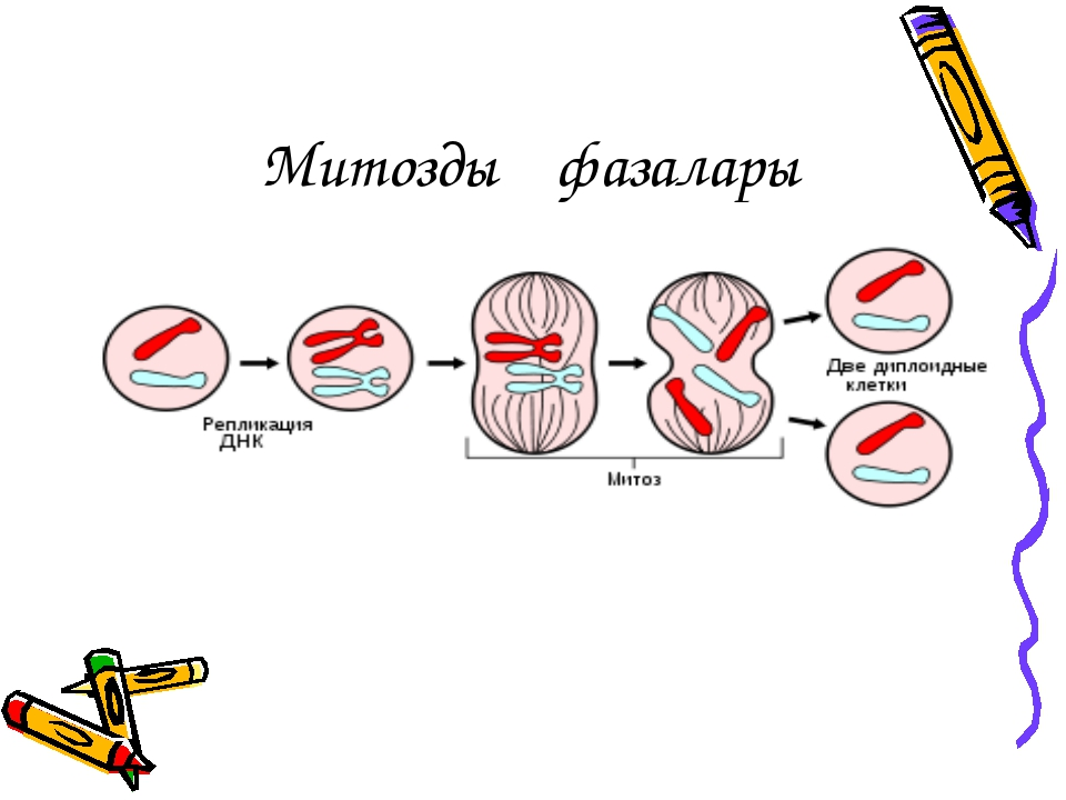 Митоздың фазалары