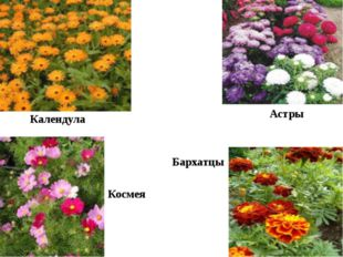 Календула Астры Космея Бархатцы