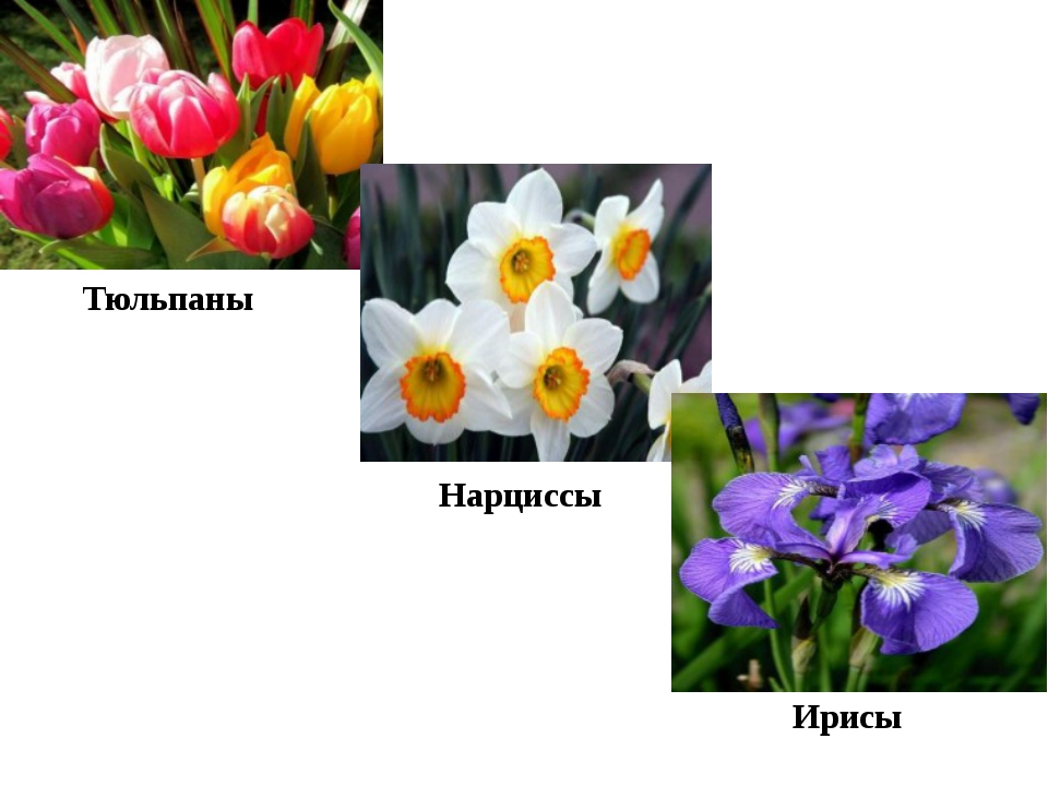 Тюльпаны Нарциссы Ирисы