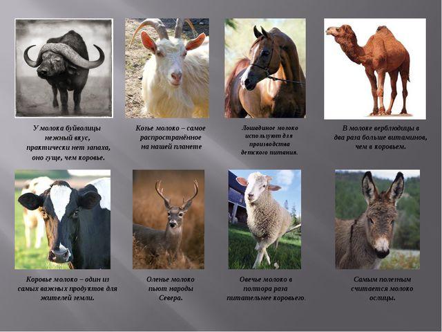 У молока буйволицы нежный вкус, практически нет запаха, оно гуще, чем коровье...