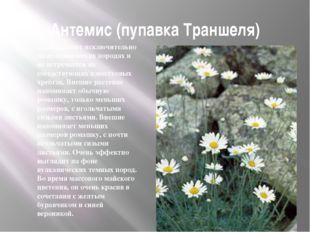 Антемис (пупавка Траншеля) Произрастает исключительно на вулканических порода