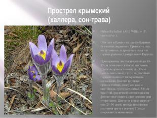 Прострел крымский (халлера, сон-трава) Рulsatilla halleri (All.) Wllld. = (Р.