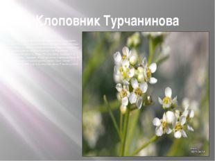Клоповник Турчанинова Редкое эндемичное растение. Голый сизый полукустарник в
