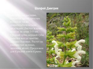 Шалфей Дмитрия многолетнее растение, покрытое кроме простых волосков также д