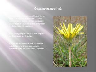 Одуванчик осенний Одуванчик осенний, или Крым-сагыз (лат. Taraxacum hybernum