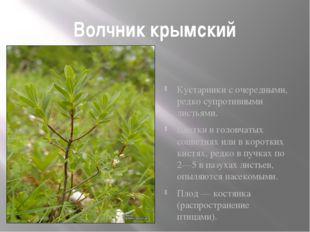 Волчник крымский Кустарники с очередными, редко супротивными листьями. Цветки