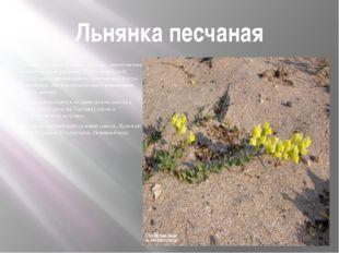 Льнянка песчаная Льнянка песчаная (Linaria sabulosa) - многолетнее сизоватое