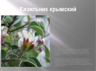 Кизильник крымский Кизильники — это листопадные или вечнозеленые медленнораст