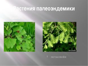 Растения палеоэндемики Гинкго метасевойя