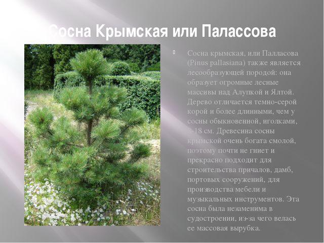 Сосна Крымская или Палассова Сосна крымская, или Палласова (Pinus pallasiana)...