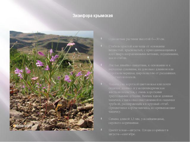 Зизифора крымская Однолетнее растение высотой б—30 см. Стебель простой или ч...