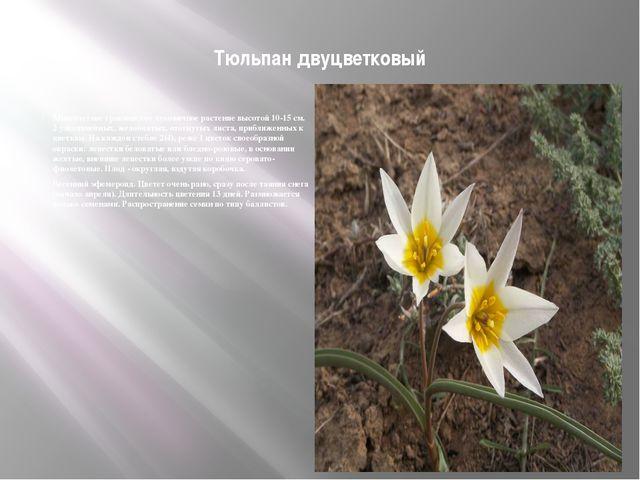 Тюльпан двуцветковый Многолетнее травянистое луковичное растение высотой 10-...