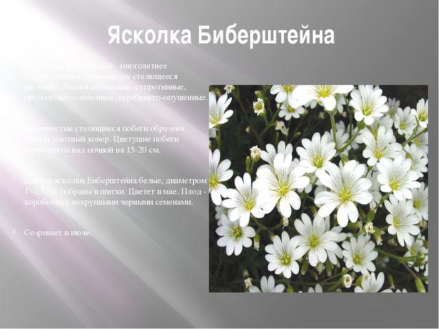 Ясколка Биберштейна (Cerastium biebersteinii) - многолетнее белоопушенное тра...