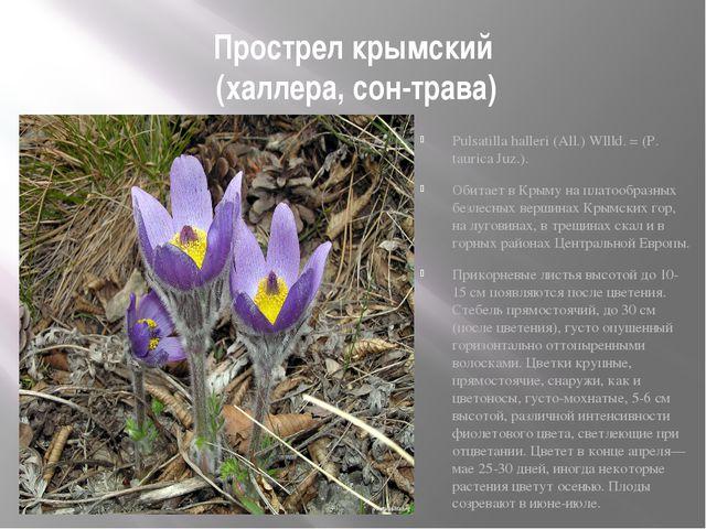 Прострел крымский (халлера, сон-трава) Рulsatilla halleri (All.) Wllld. = (Р....