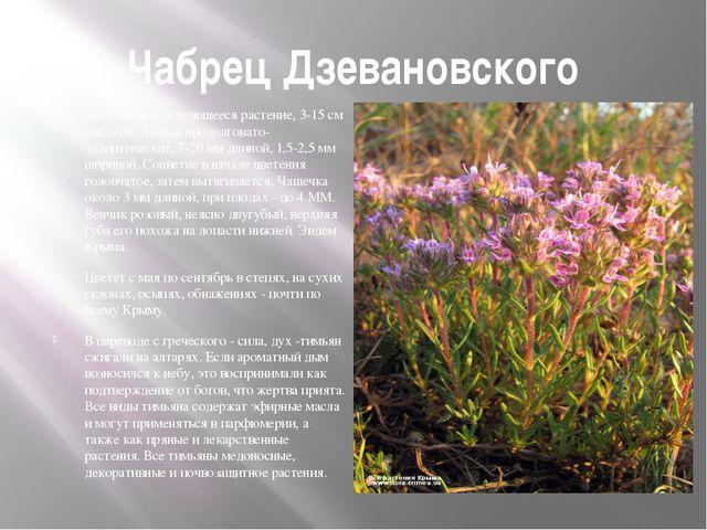 Чабрец Дзевановского Многолетнее, стелющееся растение, 3-15 см высотой. Листь...