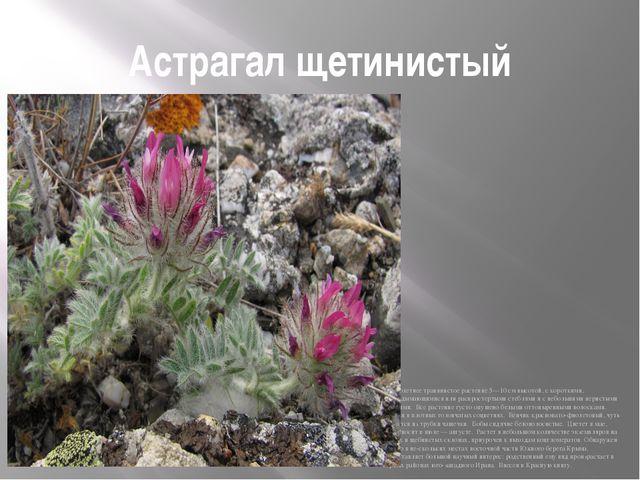 Астрагал щетинистый Многолетнее травянистое растение 5—10 см высотой, с корот...