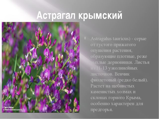 Астрагал крымский Astragalus tauricus) - серые от густого прижатого опушения...