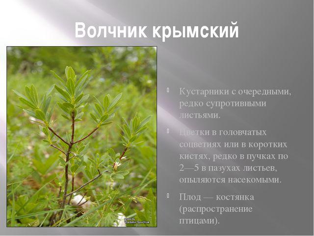 Волчник крымский Кустарники с очередными, редко супротивными листьями. Цветки...