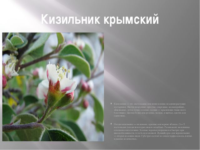 Кизильник крымский Кизильники — это листопадные или вечнозеленые медленнораст...