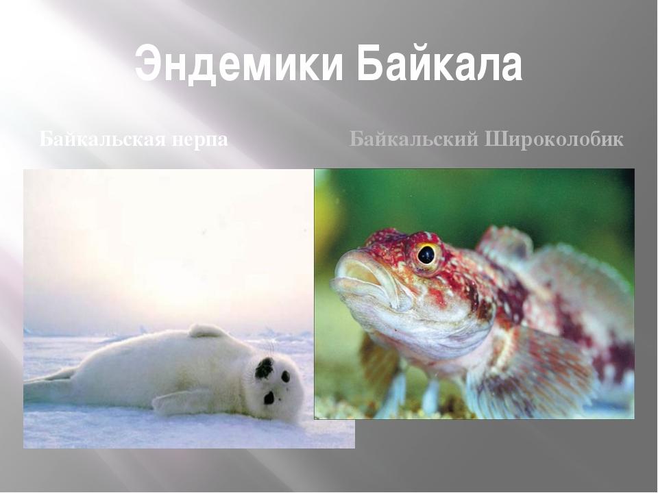 Эндемики Байкала Байкальская нерпа Байкальский Широколобик