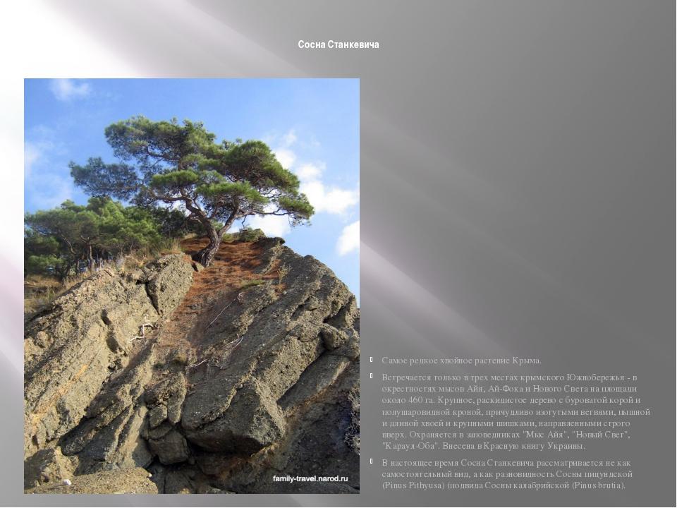 Сосна Станкевича Самое редкое хвойное растение Крыма. Встречается только в т...