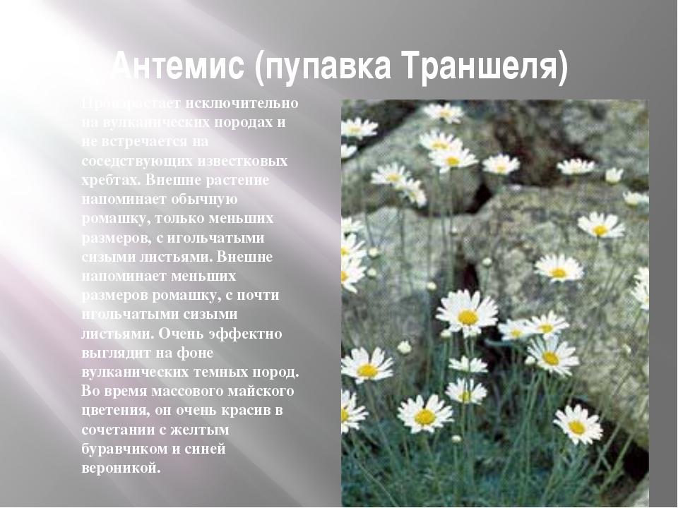 Антемис (пупавка Траншеля) Произрастает исключительно на вулканических порода...