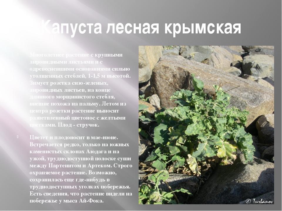 Капуста лесная крымская Многолетнее растение с крупными лировидными листьями...