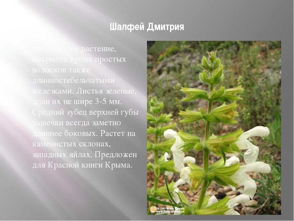 Шалфей Дмитрия многолетнее растение, покрытое кроме простых волосков также д...