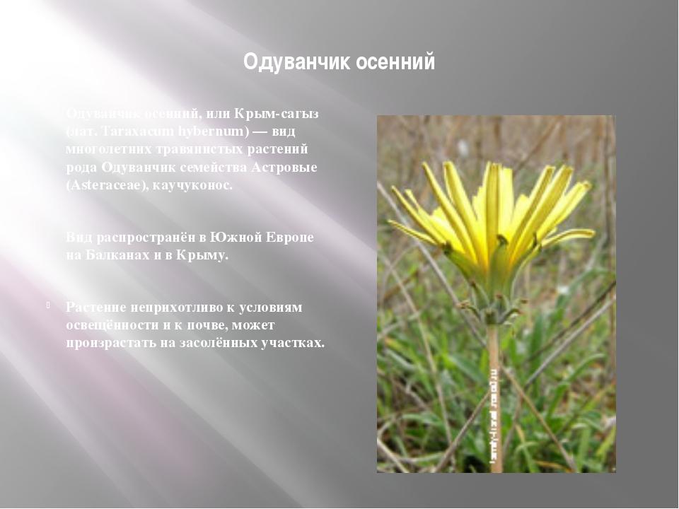 Одуванчик осенний Одуванчик осенний, или Крым-сагыз (лат. Taraxacum hybernum...