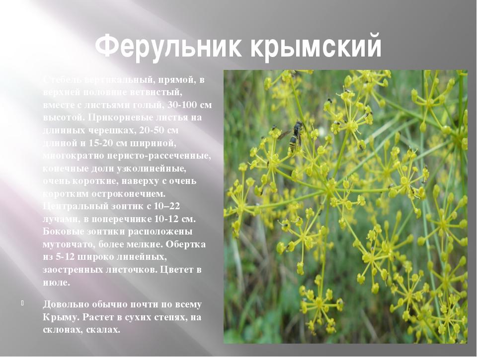 Ферульник крымский Стебель вертикальный, прямой, в верхней половине ветвистый...