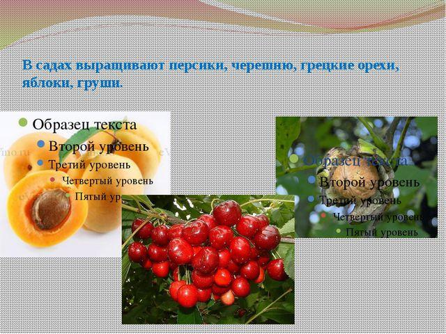 В садах выращивают персики, черешню, грецкие орехи, яблоки, груши.