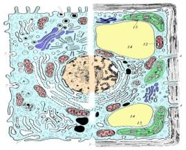 http://900igr.net/datai/biologija/Kletka-v-organizme/0013-016-Obschij-plan-stroenija-kletki.jpg