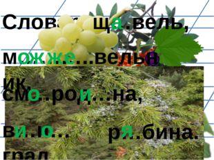 Словарь: м………..вельник, щ…вель, а о ж ж е см…род…на, о и в…н…град, и о р…бина