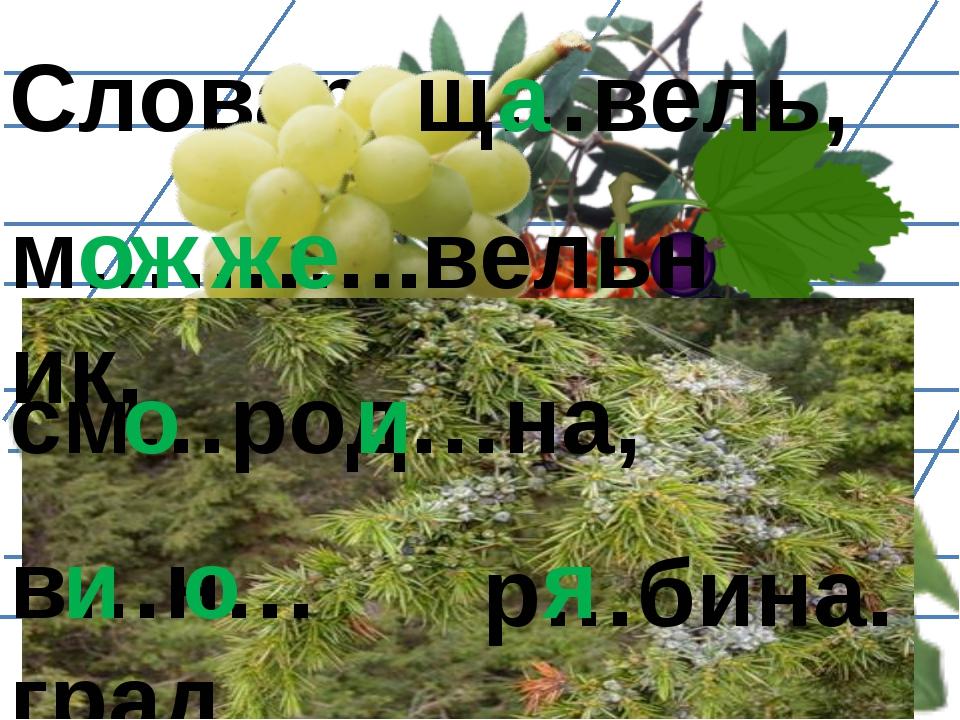 Словарь: м………..вельник, щ…вель, а о ж ж е см…род…на, о и в…н…град, и о р…бина...