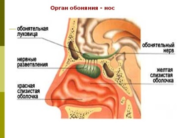 http://5klass.net/datas/okruzhajuschij-mir/Stroenie-organov-chuvstv/0008-008-Organ-obonjanija-nos.jpg