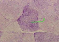 http://nsau.edu.ru/images/vetfac/images/ebooks/histology/histology/r4/bs78.jpg