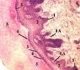 http://nsau.edu.ru/images/vetfac/images/ebooks/histology/histology/r4/ns9_(1).jpg