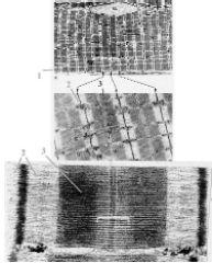 http://nsau.edu.ru/images/vetfac/images/ebooks/histology/histology/r4/gs125_124.jpg