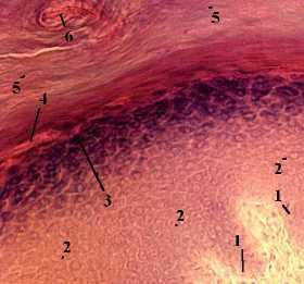 http://nsau.edu.ru/images/vetfac/images/ebooks/histology/histology/r4/ns5.jpg