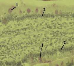 http://nsau.edu.ru/images/vetfac/images/ebooks/histology/histology/r4/bs11.jpg