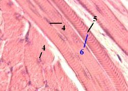 http://nsau.edu.ru/images/vetfac/images/ebooks/histology/histology/r4/ns25.jpg