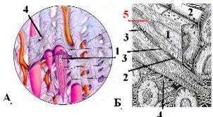 http://nsau.edu.ru/images/vetfac/images/ebooks/histology/histology/r4/gs121.jpg