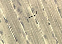 http://nsau.edu.ru/images/vetfac/images/ebooks/histology/histology/r4/ns26.jpg
