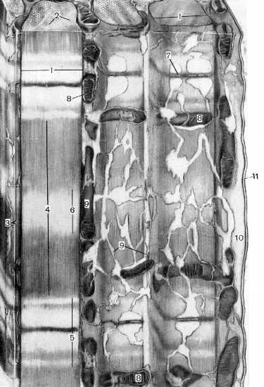 http://nsau.edu.ru/images/vetfac/images/ebooks/histology/histology/r7/n09.jpg