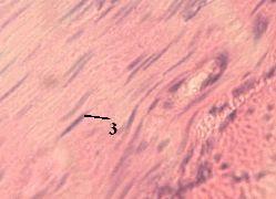 http://nsau.edu.ru/images/vetfac/images/ebooks/histology/histology/r4/ns29.jpg